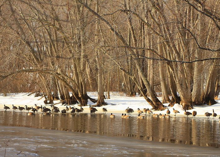 Wildlife Greeting Card featuring the photograph Canada Geese On Concord River by John Burk