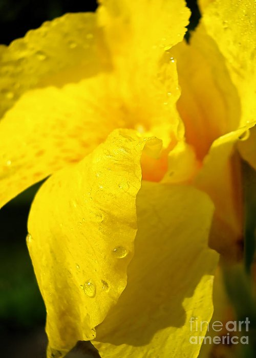 Flower Greeting Card featuring the photograph Canna At Sunrise by Todd A Blanchard