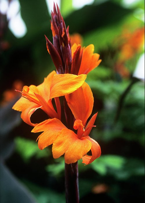 'roi Humbert' Greeting Card featuring the photograph Canna Lily 'roi Humbert' by Adrian Thomas
