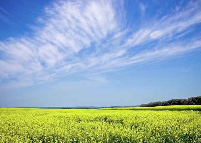 Prairie Greeting Card featuring the photograph Canola Blue by Keith Armstrong