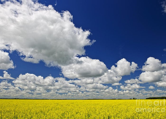 Canola Greeting Card featuring the photograph Canola Field by Elena Elisseeva