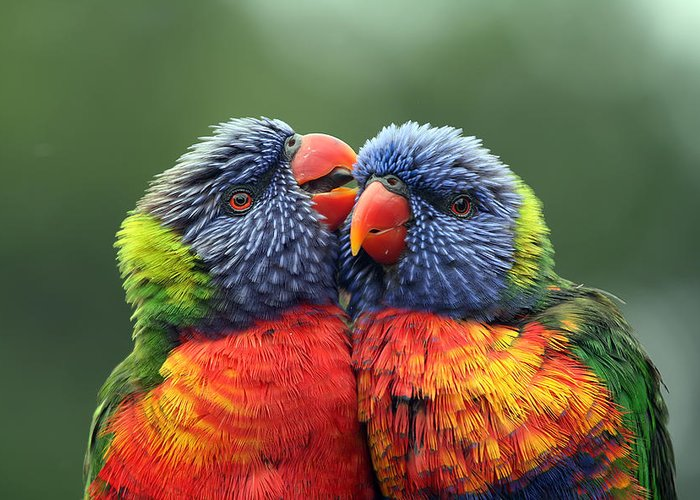 Rainbow Lorikeets Greeting Card featuring the photograph Canoodling In The Rain by Lesley Smitheringale