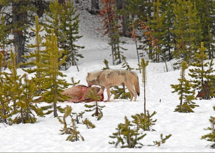 Wolf Greeting Card featuring the photograph Canyon Wolf On Elk Kill by Dennis Hammer