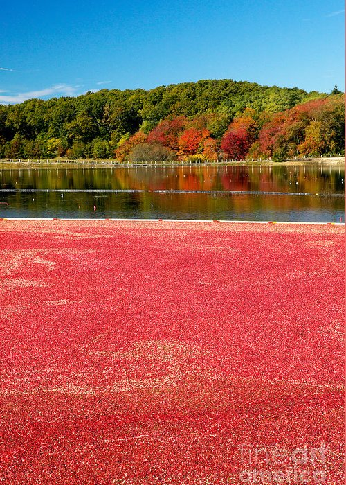 Cape Cod Greeting Card featuring the photograph Cape Cod Cranberry Bog by Matt Suess