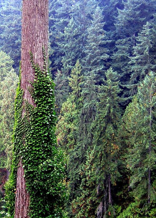 Capilano Canyon Greeting Card featuring the photograph Capilano Canyon Ivy by Will Borden