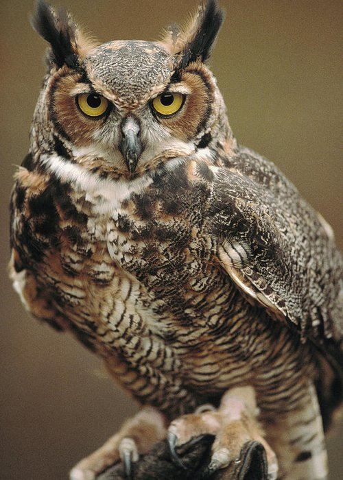 Indoors Greeting Card featuring the photograph Captive Great Horned Owl, Bubo by Raymond Gehman