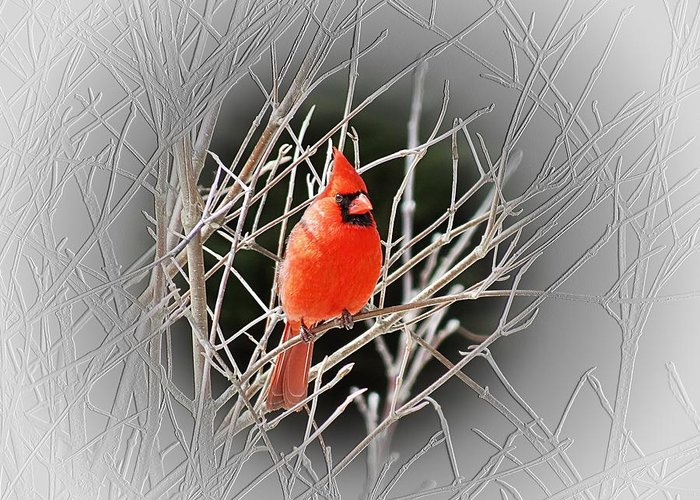 Male Cardinal Greeting Card featuring the photograph Cardinal Centered by MTBobbins Photography