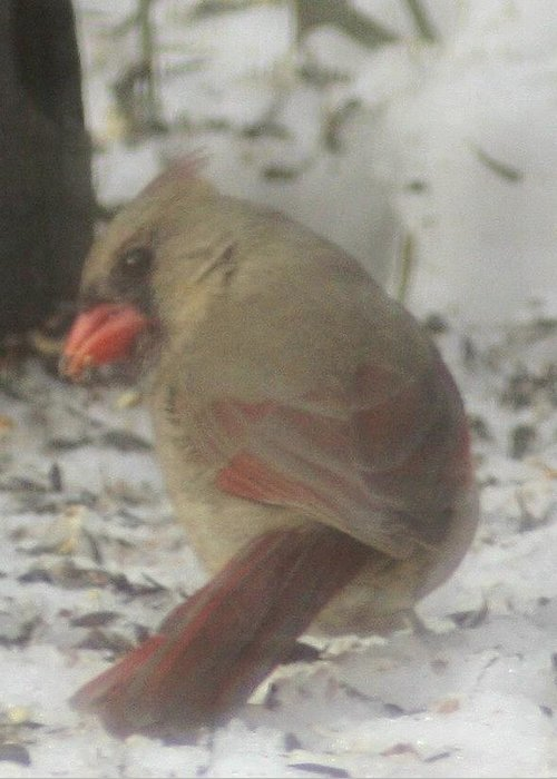 Female Cardinal Greeting Card featuring the photograph Cardinal by Debra Sandstrom