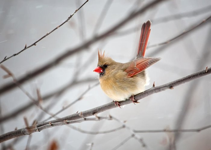 Cardinal Greeting Card featuring the photograph Cardinal Facing A Brisk Wind by Al Mueller
