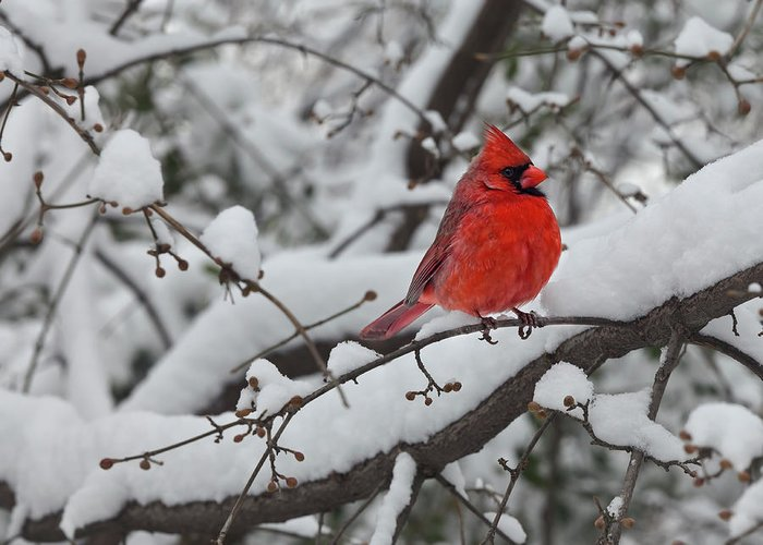 Snow Greeting Card featuring the photograph Cardinal In The Snow 1 by Robert Ullmann