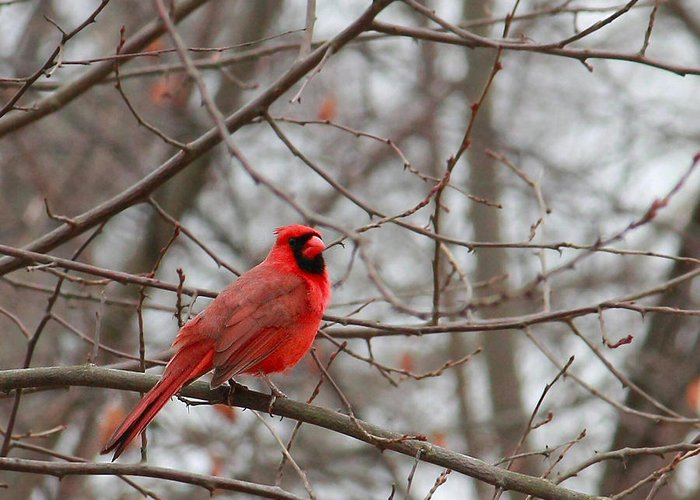 Cardinal Greeting Card featuring the photograph Cardinal In The Winter by Angela Murdock