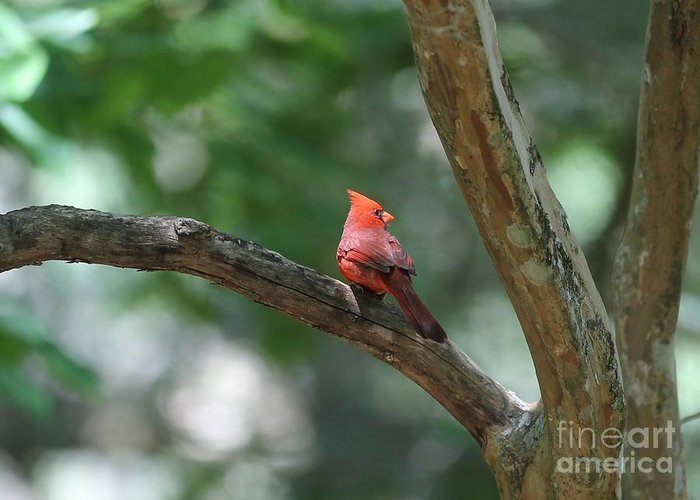 Cardinal Greeting Card featuring the photograph Cardinal In Tree by Carol Groenen