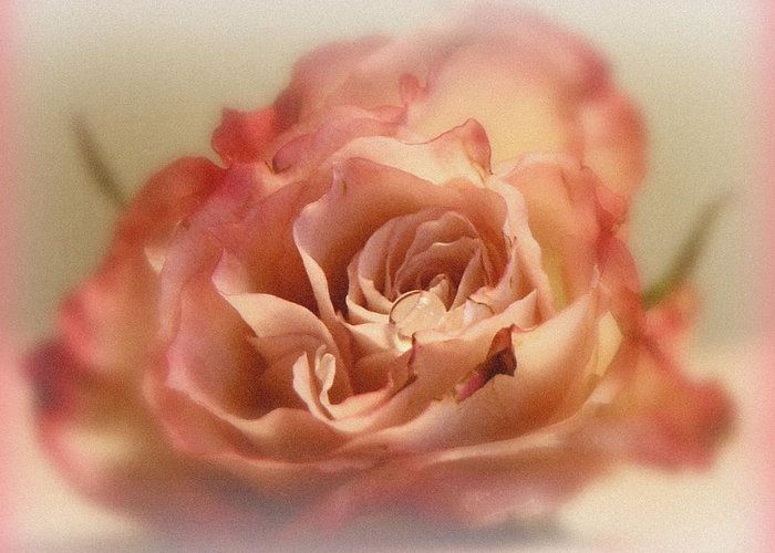 Rose Greeting Card featuring the photograph Caress by Kathy Bucari