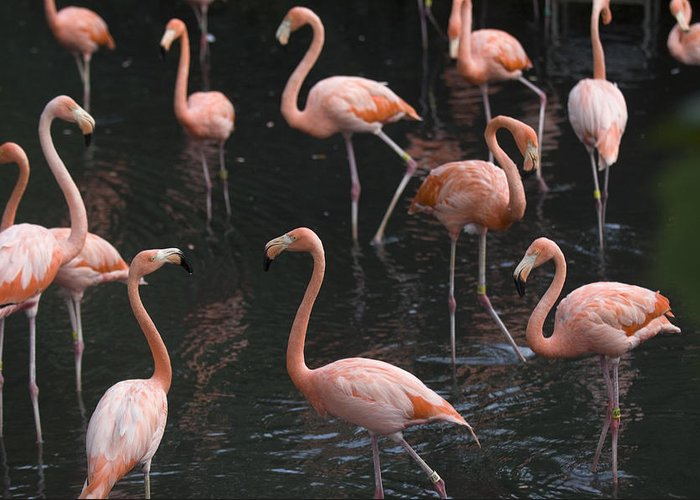 Photography Greeting Card featuring the photograph Caribbean Flamingoes At The Sedgwick by Joel Sartore