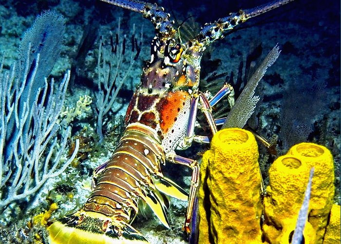 Ocean Greeting Card featuring the photograph Caribbean Reef Lobster by Amy McDaniel