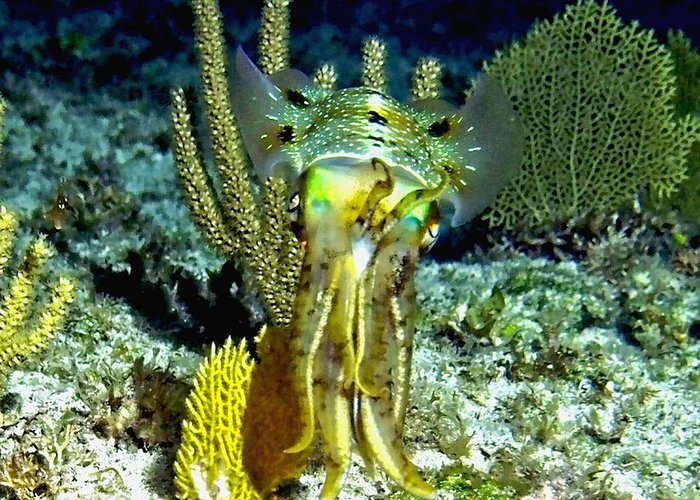 Nature Greeting Card featuring the photograph Caribbean Squid At Night - Alien Of The Deep by Amy McDaniel