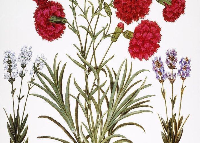 1613 Greeting Card featuring the photograph Carnation & Lavender, 1613 by Granger