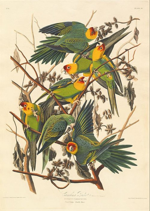 Audubon Greeting Card featuring the drawing Carolina Parrot by Dreyer Wildlife Print Collections