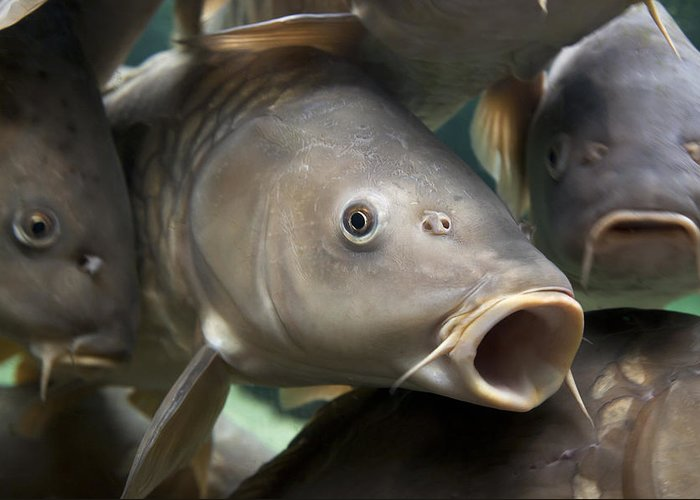 Angling Greeting Card featuring the photograph Carp by Jane Rix