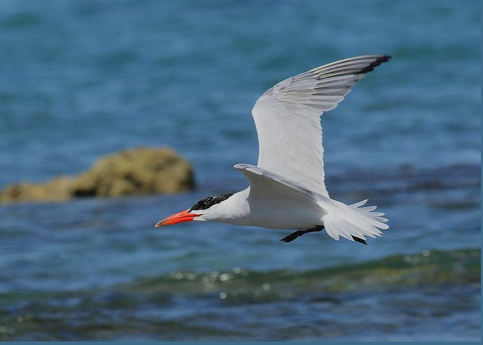 Tern Greeting Card featuring the photograph Caspian Tern by Tony Brown