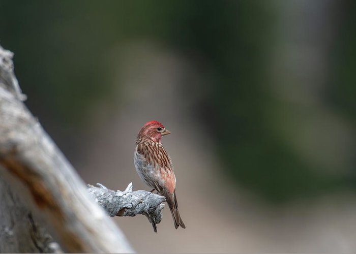 Bird Greeting Card featuring the photograph Cassin's Finch by Ken Dietz