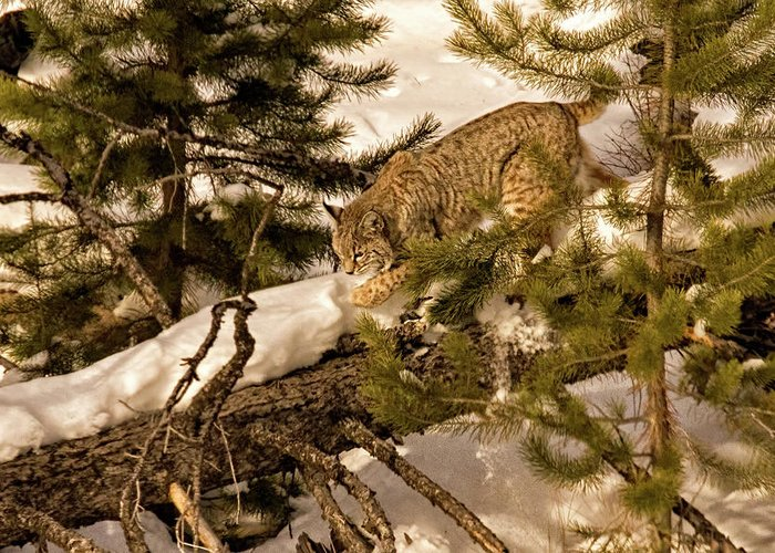Cat Walk Greeting Card featuring the photograph Cat Walk by Priscilla Burgers