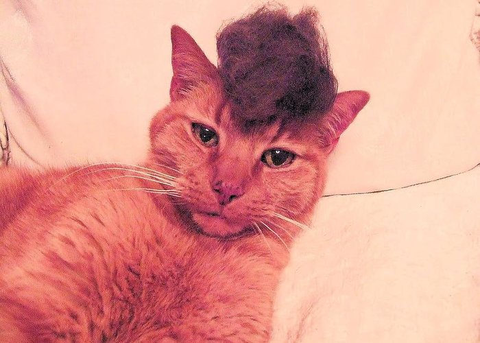 Cat Wearing A Wig Greeting Card featuring the photograph Cat Wearing A Wig by Derek Longman