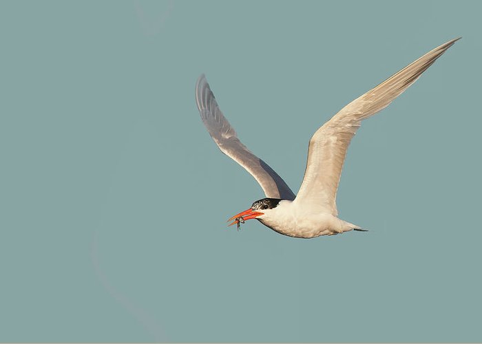 Caspian Tern Greeting Card featuring the photograph Catch Of The Day - Caspian Tern Huntington Beach California by Ram Vasudev