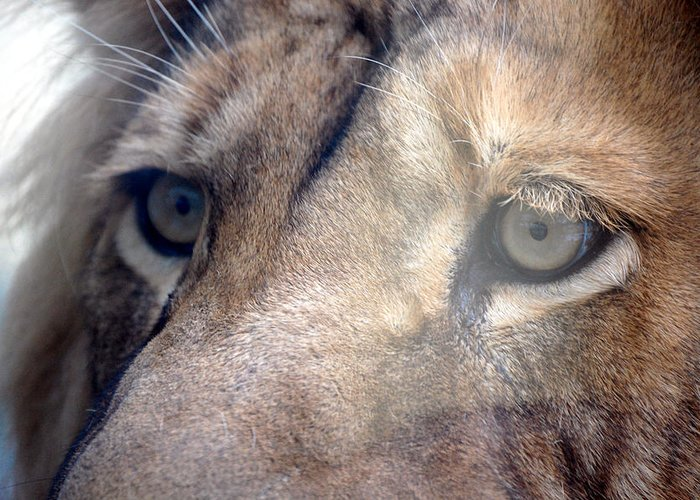 Lion Greeting Card featuring the photograph Cats Eyes by Lisa Kane