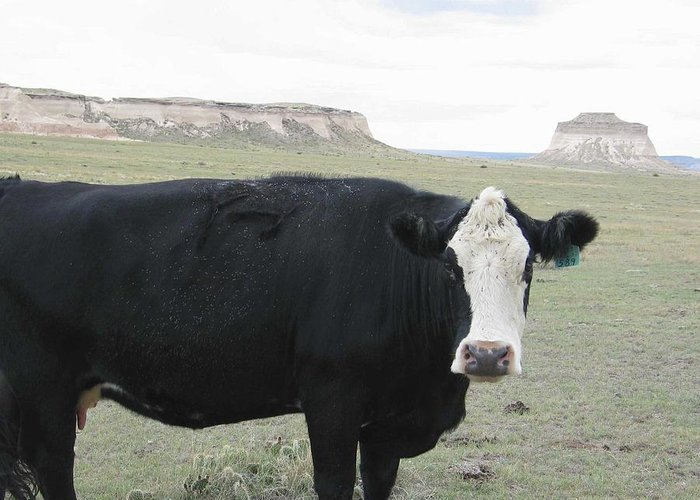 Rural Greeting Card featuring the photograph cattle at Pawnee Butte Colorado by Margaret Fortunato