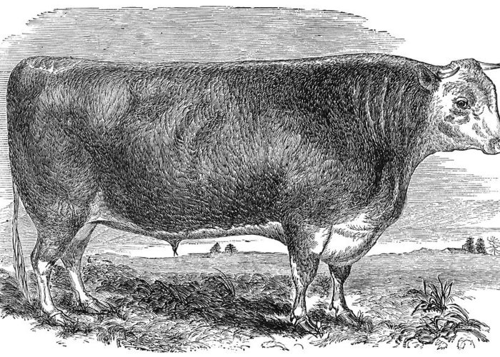 1880s Greeting Card featuring the photograph Cattle, C1880 by Granger