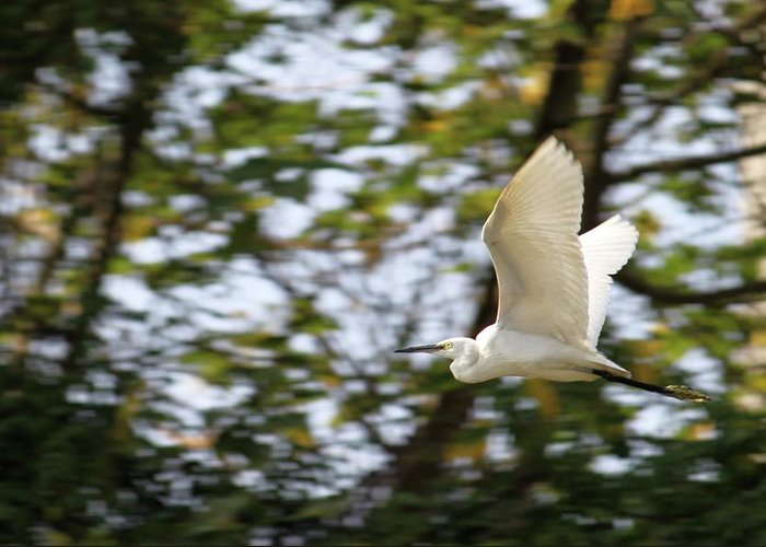 Cattle Egret Greeting Card featuring the photograph Cattle Egret In Flight by Jean-Paul Mouton