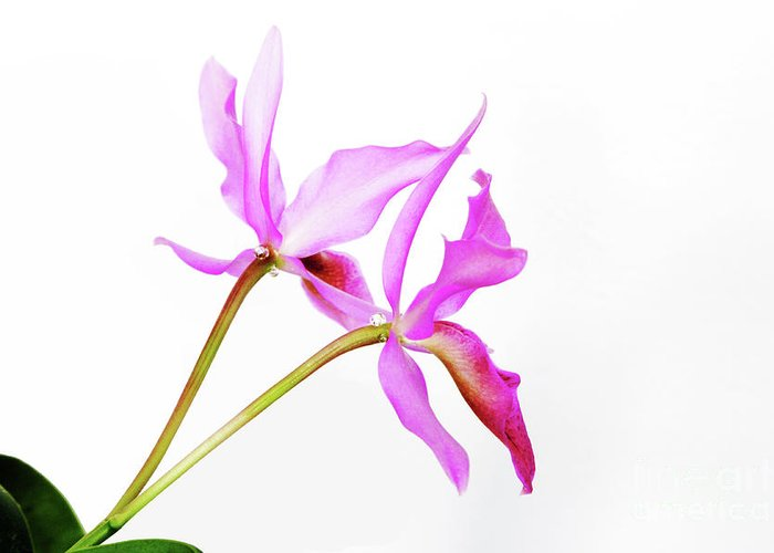 Orchid Greeting Card featuring the photograph Cattleya Guatemalensis by Charline Xia