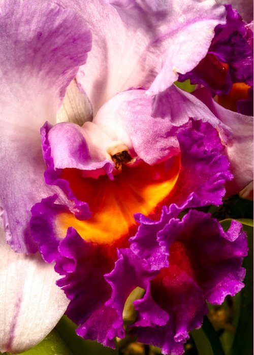 Flower Greeting Card featuring the photograph Cattleya IIi by Christopher Holmes