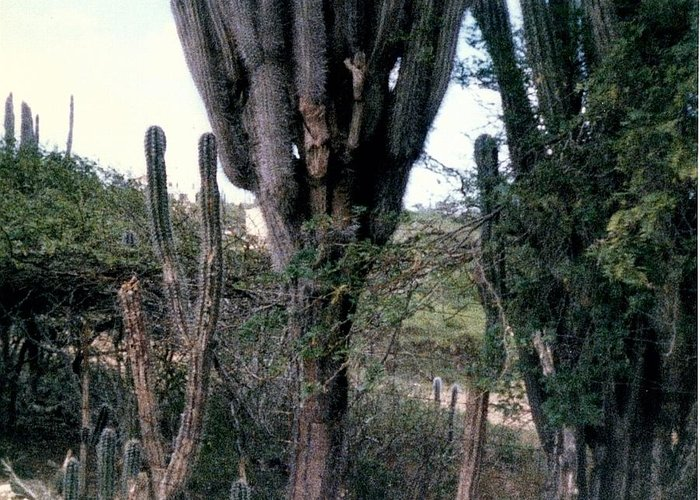 Landscapes Greeting Card featuring the photograph Catus Trees by Maggie Cruser