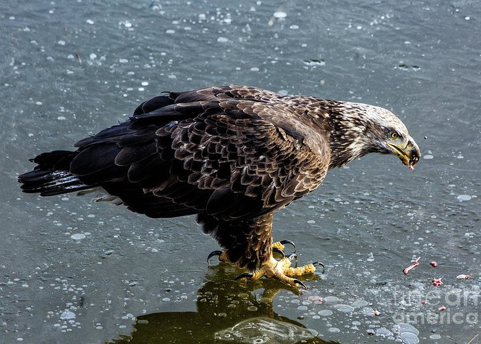 Eagles Greeting Card featuring the photograph Cautious Eagle by Terri Morris