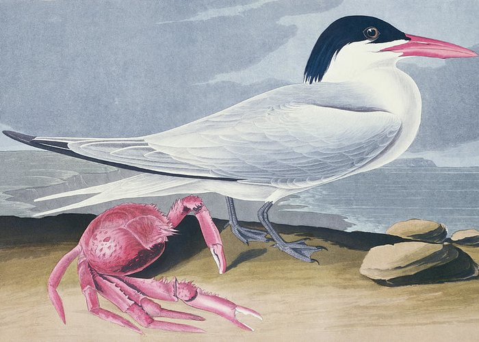 Tern Greeting Card featuring the painting Cayenne Tern by John James Audubon