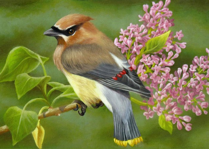 Cedar Waxwing Greeting Card featuring the painting Cedar Waxwing On Lilac by Karen Coombes
