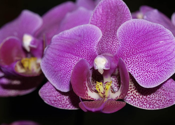 Orchids Greeting Card featuring the photograph Center Of Attention by Joyce Hutchinson