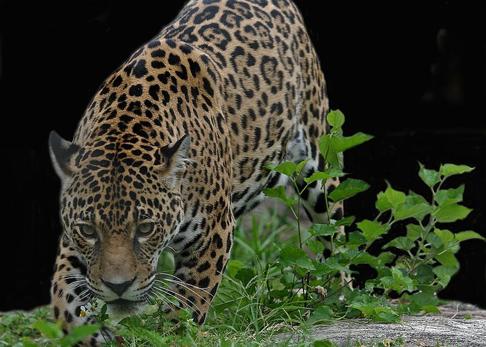 Jaguar Greeting Card featuring the photograph Central American Jaguar by Larry Linton