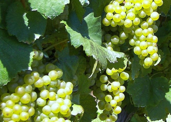 Grapes Greeting Card featuring the photograph Chardonay Grapes by D Steven Brito