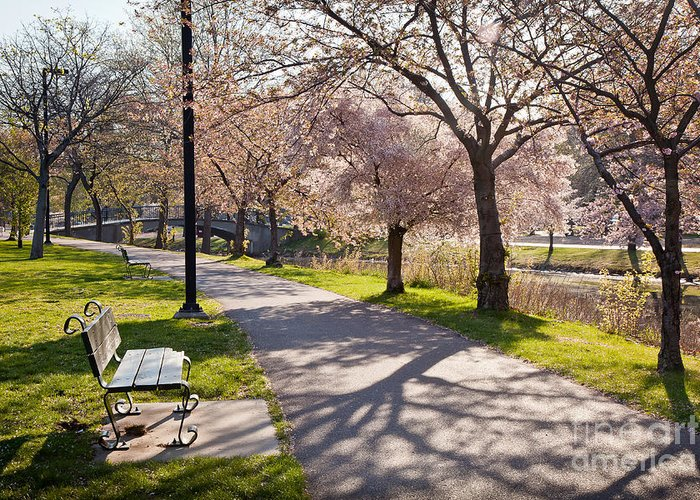 April Greeting Card featuring the photograph Charles River Cherry Trees by Susan Cole Kelly