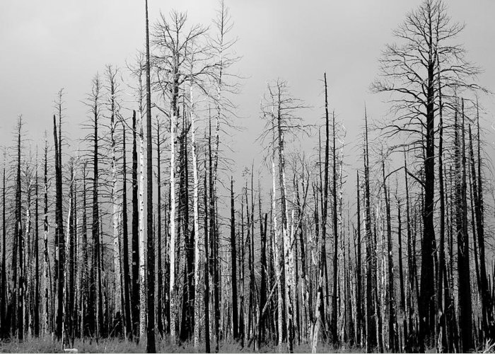 Charred Greeting Card featuring the photograph Charred Trees by James BO Insogna