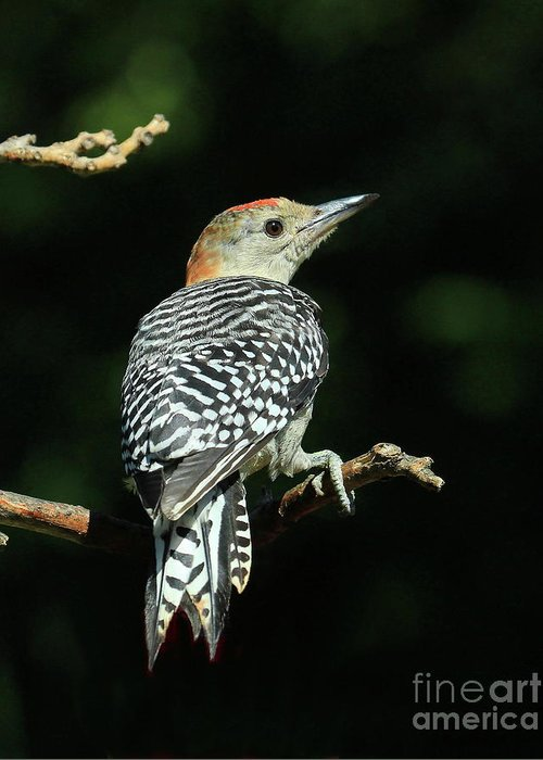Red-bellied Woodpecker Greeting Card featuring the photograph Checker Board Design by Gail Huddle