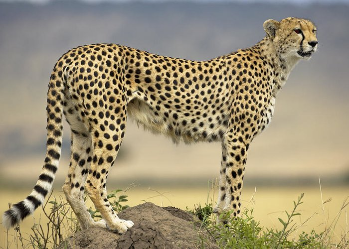 Fn Greeting Card featuring the photograph Cheetah Acinonyx Jubatus On Termite by Winfried Wisniewski