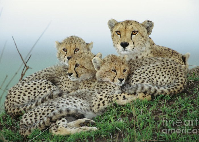 00345011 Greeting Card featuring the photograph Cheetah And Her Cubs by Yva Momatiuk John Eastcott