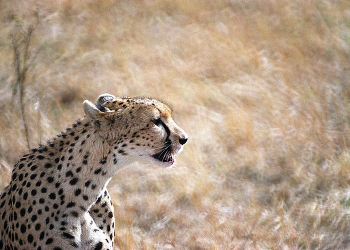 Cheetah Greeting Card featuring the photograph Cheetah by Marcus Best