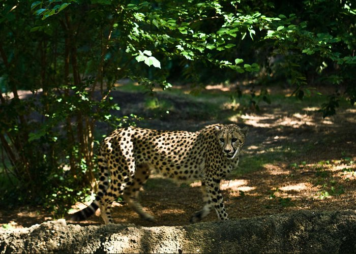 Cheetah Greeting Card featuring the photograph Cheetah On The In The Forest 2 by Douglas Barnett