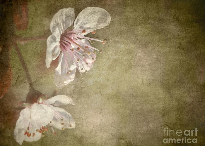 Aged Greeting Card featuring the photograph Cherry Blossom by Meirion Matthias