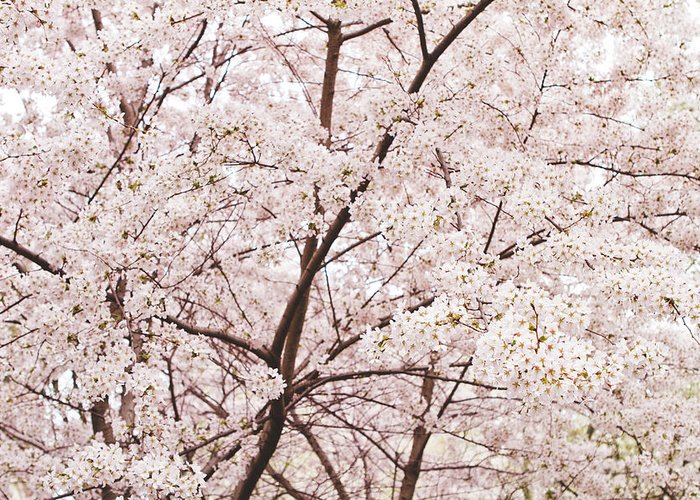 Cherry Blossom Greeting Card featuring the photograph Cherry Blossom Spring by Ariane Moshayedi